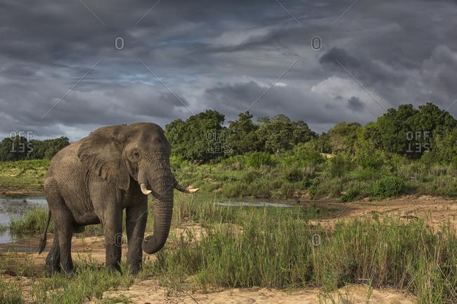 African elephant (Loxodonta africana), Sabi Sand Game Reserve, South Africa
