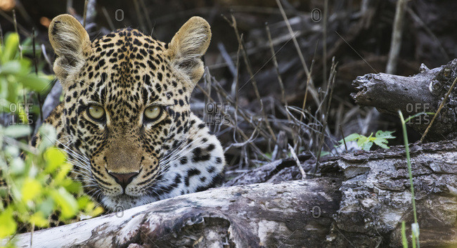 Leopard (panthera pardus), Sabi Sand Game Reserve, South Africa
