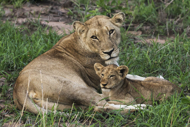 Lioness (Panthera leo) and her cub relaxing in the grass, Sabi Sand Game Reserve, South Africa