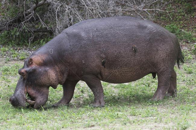 Hippopotamus (Hippopotamus amphibious), South Africa