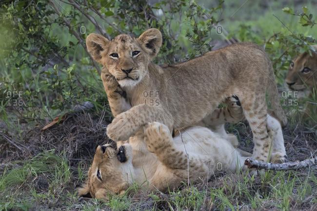 Lion cubs (panthera leo) playing together, Sabi Sand Game Reserve, South Africa