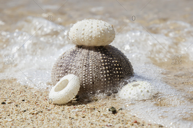 Urchin shells on a beach, St. Croix, Virgin Islands, United States of America