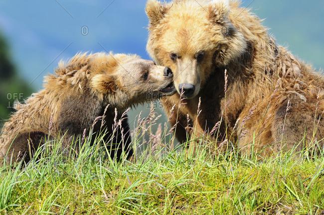 Brown bear (ursus arctos) and cub playing, Katmai National Park, Alaska, United States of America