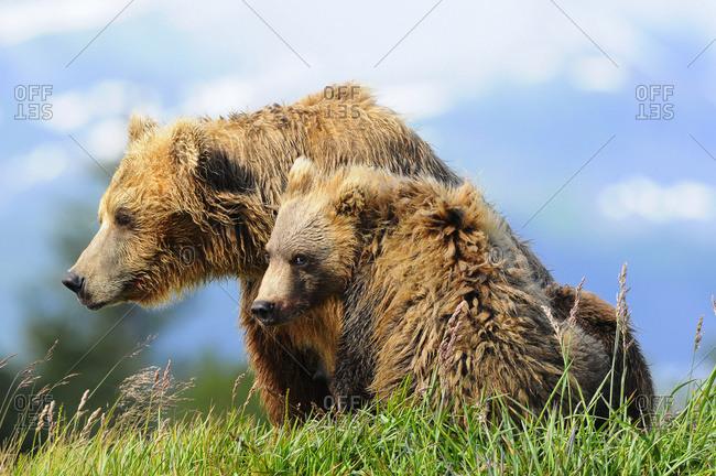 Brown bear (ursus arctos) sow and cub, Katmai National Park, Alaska, United States o