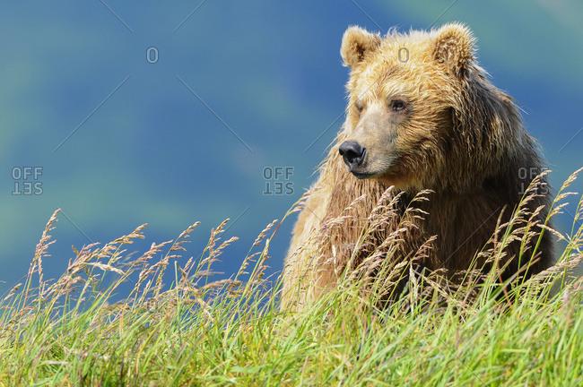 Portrait of a brown bear (portrait), Katmai National Park, Alaska, United States of America