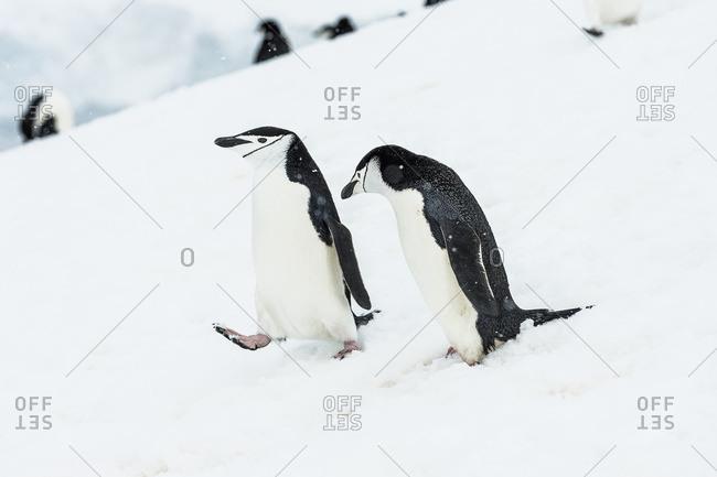 Chinstrap penguins (Pygoscelis antarctica) walking down a snowy slope, Half Moon Island, South Shetland Islands, Antarctica