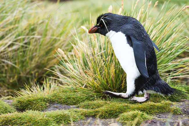 Rockhopper penguin walking in the tall grass