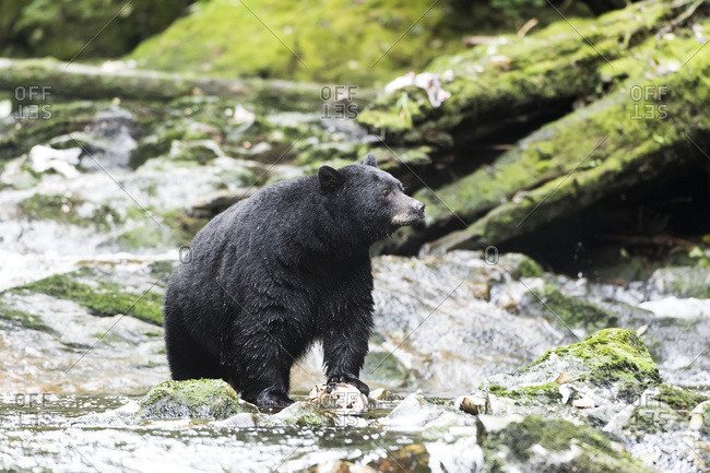 Black Bear (Ursus americanus) fishing, Great Bear Rain Forest, British Columbia, Canada