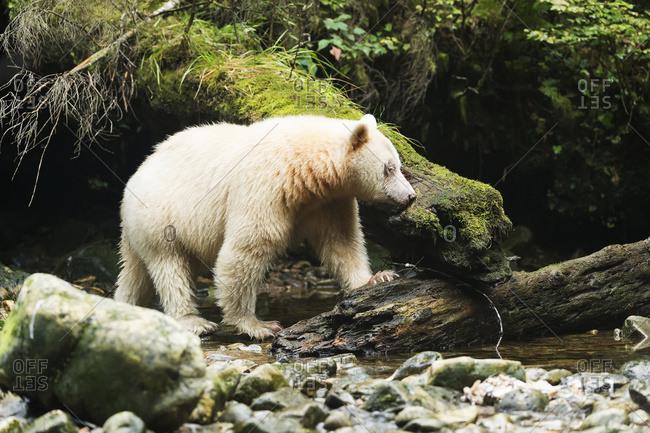 Spirit Bear (Ursus americanus kermodei) fishing, Great Bear Rain Forest, British Columbia, Canada