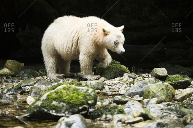 Spirit Bear (Ursus americanus kermodei) walking along the river, Great Bear Rain Forest, British Columbia, Canada