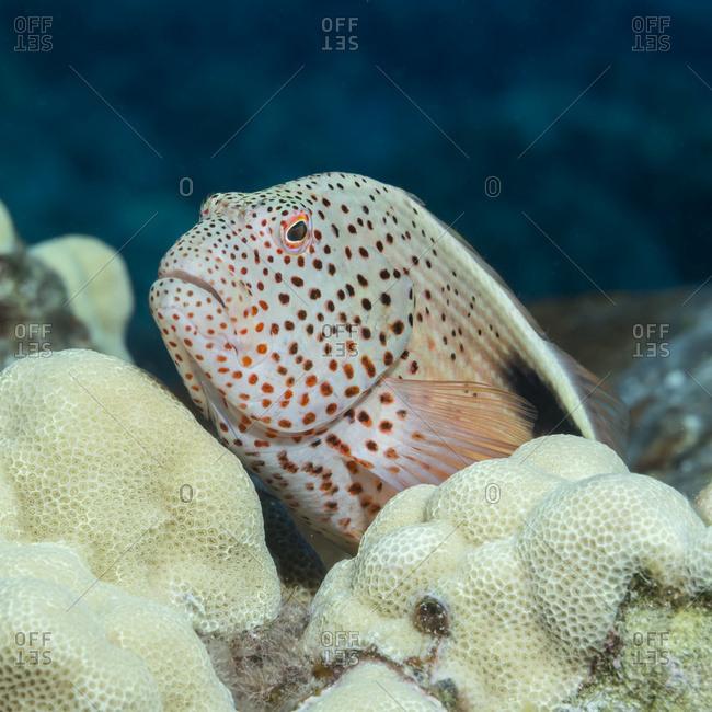Freckled Hawkfish (Paracirrhites forsteri) resting on lobe coral (Porites lobata) photographed while scuba diving the Kona coast, Kona, Island of Hawaii, Hawaii, United States of America
