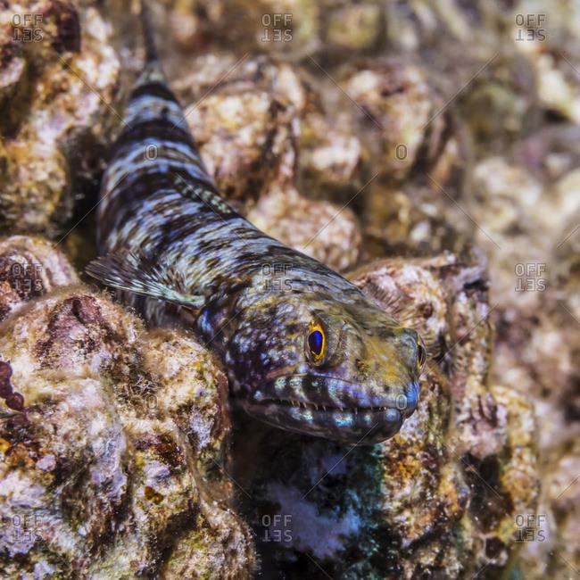 Reef Lizardfish (Synodus variegatus) resting on a reef formed of lava off the Kona coast, Kona, Island of Hawaii, Hawaii, United States of America