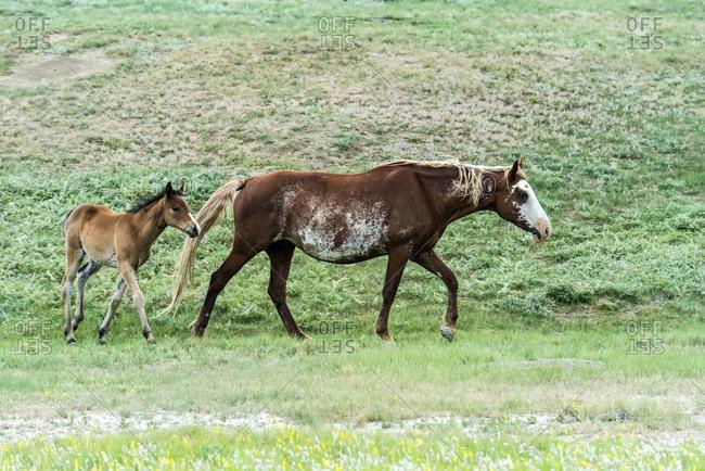 Wild horses, Theodore Roosevelt National Park, North Dakota, United States of America