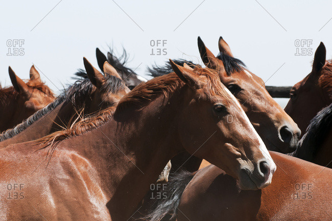 Young horses in a corral, Argentina