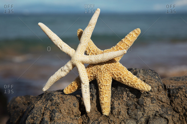 A Pair Of Sea Stars On Lava Rock With Ocean, Maui, Hawaii, United States of America