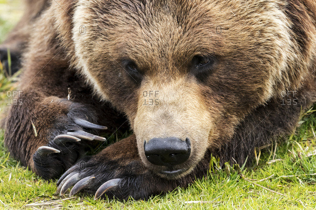 Close up of a brown bears (ursus arctos) resting on the grass, captive in Alaska Wildlife Conservation Center, South-central Alaska, Portage, Alaska, United States of America