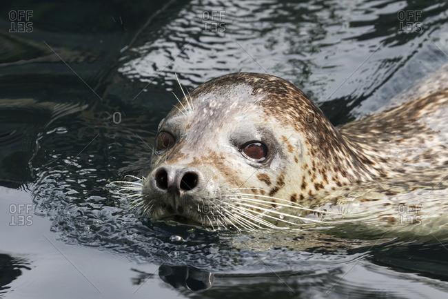 Harbor seal (Phoca vitulina) looking at the camera, Alaska, United States of America
