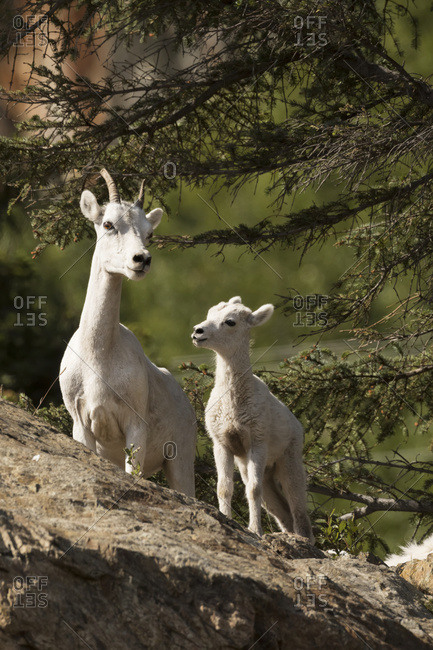 Dall sheep (ovis dalli) ewe and lamb South of Anchorage near Windy Point at Mile 106 Seward Highway, Alaska, United States of America
