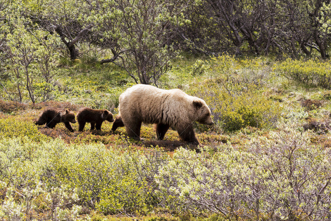 Grizzly bear (ursus arctos horribilis) and twin cubs, Denali National Park and Preserve, Alaska, United States of America