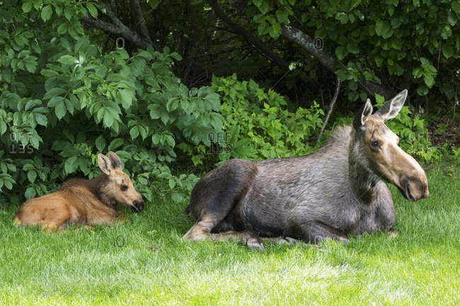 Moose calf (alces alces) rests and feeds with it's mother, Anchorage, Alaska, United States of America