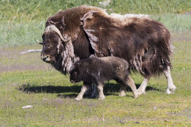 A muskox (Ovibos moschatus) cow shedding it's winter coat walks with her young calf, captive at the Alaska Wildlife Conservation Center, South-central Alaska, Portage, Alaska, United States of America