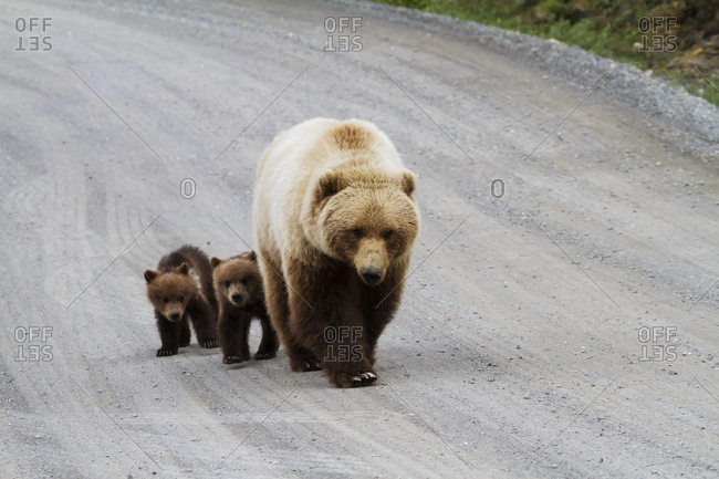 Grizzly bears (ursus arctos horribilis) walking on the Park Road, twin cubs did not venture far from their mother's protection, Denali National Park and Preserve, South-central Alaska, Alaska, United States of America