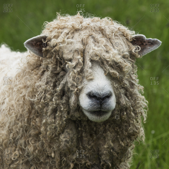 Close up of a sheep (ovis aries) covered in thick wool, Fortress of Louisbourg, Cape Breton Island, Nova Scotia, Canada