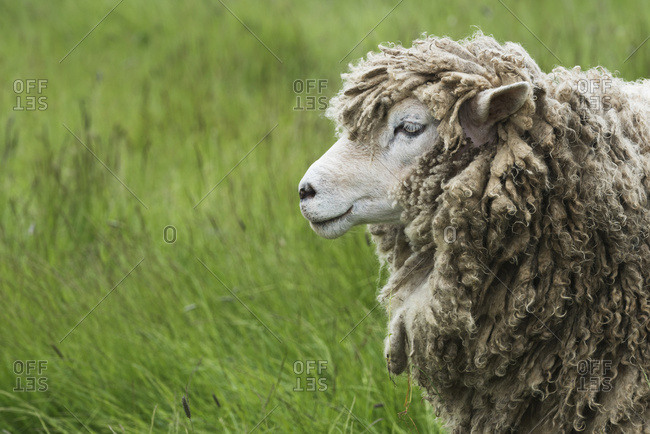 A sheep (ovis aries) covered in thick wool, Fortress of Louisbourg, Cape Breton Island, Nova Scotia, Canada
