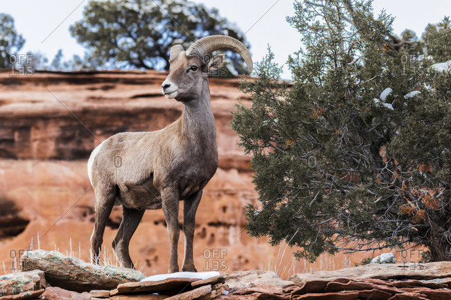 View of a Desert Bighorn Sheep (Ovis canadensis nelsoni)) in the Colorado National Monument, Colorado, United States of America