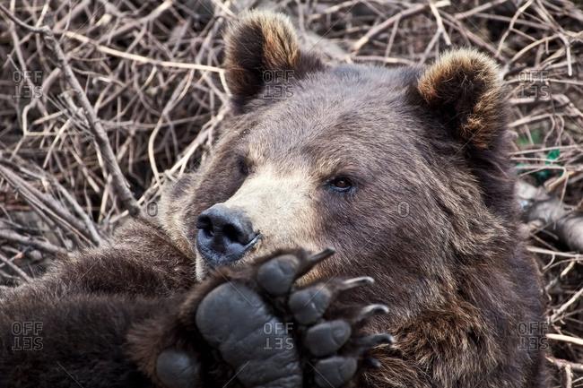 Grizzly bear resting among broken tree branches, Sitka, Southeast Alaska, USA