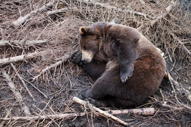 Grizzly bear sleeping among broken tree branches, Sitka, Southeast Alaska, USA