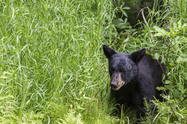 Young Black bear in grasses in summer, South-central Alaska, USA