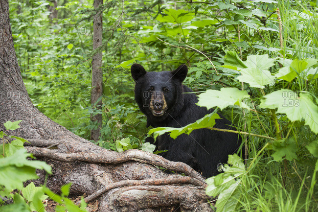 Black bear sitting among the forest understory in summer, South-central Alaska, USA