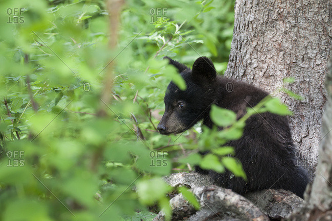 Black bear (Ursus americanus) cub looking out through the lush foliage from a tree branch, South-central Alaska, Alaska, United States of America