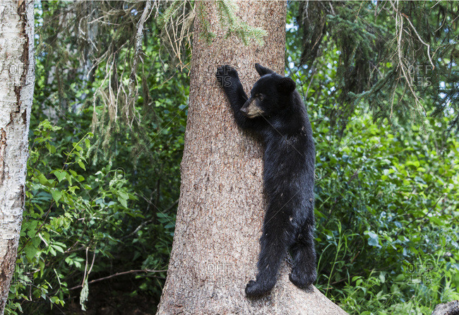 Black bear cub climbs a tree trunk, South-central Alaska, USA