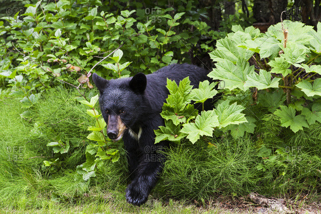 Black bear standing among the forest understory in summer, South-central Alaska, USA