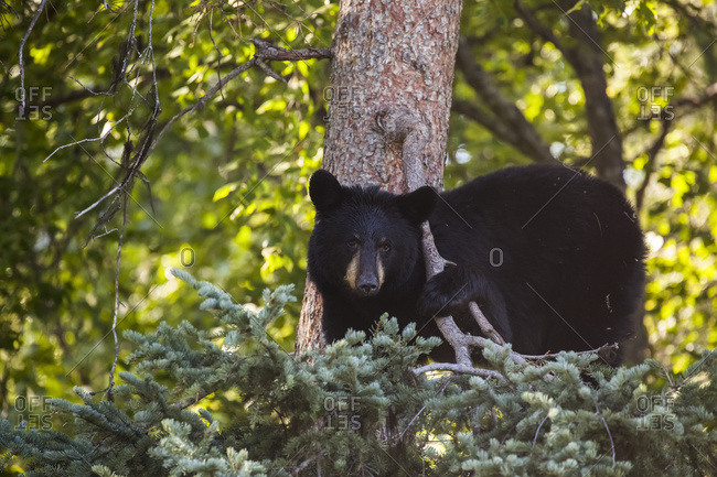 Adult Black Bear standing in a tree in summer, South-central Alaska, USA