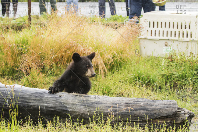 Black bear (ursus americanus) cub with log and people standing at a fence watching, Alaska Wildlife Conservation Center, Portage, Alaska, United States of America