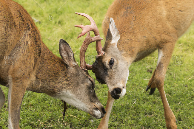 Sitka Black-tailed deer (Odocoileus hemionus sitkensis) bucks sparring, Alaska Wildlife Conservation Center, Portage, Alaska, United States of America