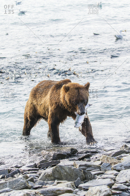 A male Brown bear (ursus arctos) catches a Pink salmon (Oncorhynchus gorbuscha) at the fish hatchery, where fishing is quite easy for bears, Allison Point, outside of Valdez, Alaska, United States of America