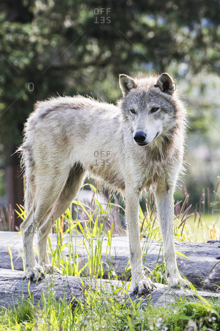 A yearling Gray Wolf (canis lupus) stands in it's favorite spot to watch people at the Alaska Wildlife Conservation Center, South-central Alaska, Portage, Alaska, United States of America