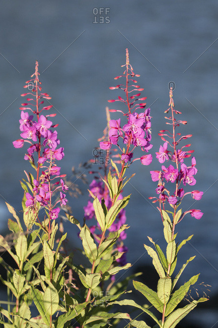 Fireweed (Chamerion angustifolium) blooms well at Allison Point outside Valdez, Alaska, United States of America