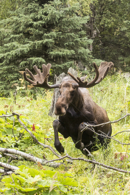 Bull moose (alces alces) in velvet jumps over deadfall in Kincaid Park, South-central Alaska, Anchorage, Alaska, United States of America