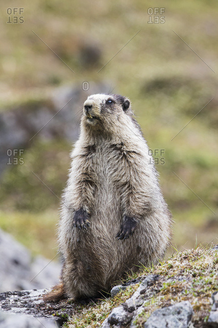 An adult marmot (marmota) is on the alert as a Golden eagle is seen flying above, Hatcher Pass area near Palmer, South-central Alaska, Alaska, United States of America