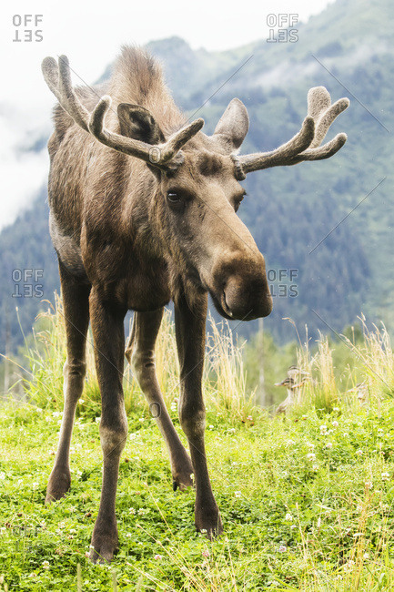 Bull moose (alces alces) with velvet antlers looks at camera with mountain in the background, Alaska Wildlife Conservation Center, Portage, Alaska, United States of America