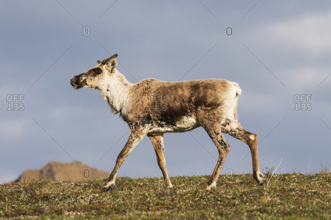 Caribou (Rangifer tarandus caribou) beginning to grow antlers, Denali National Park and Preserve, Alaska, United States of America