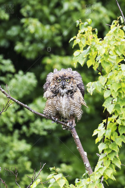Great Horned Owl (Bubo virginianus) perched and wet from the rain falling, Potter Marsh, Anchorage, Alaska, United States of America