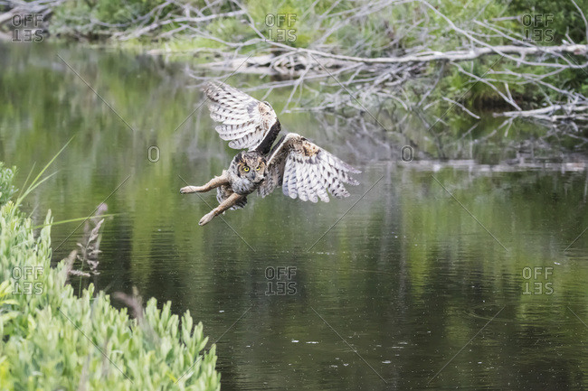 Flying Great Horned Owl (Bubo virginianus) flying and hunting for muskrats in a small pond next to Potter Marsh, South-central Alaska, Anchorage, Alaska, United States of America