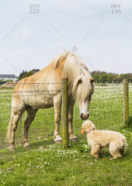 A blond cockapoo and blond horse meet at a fence and greet one another, South Shields, Tyne and Wear, England