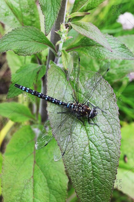 Dragonfly (Odonata sp.) resting on a leaf, Sitka, Alaska, United States of America